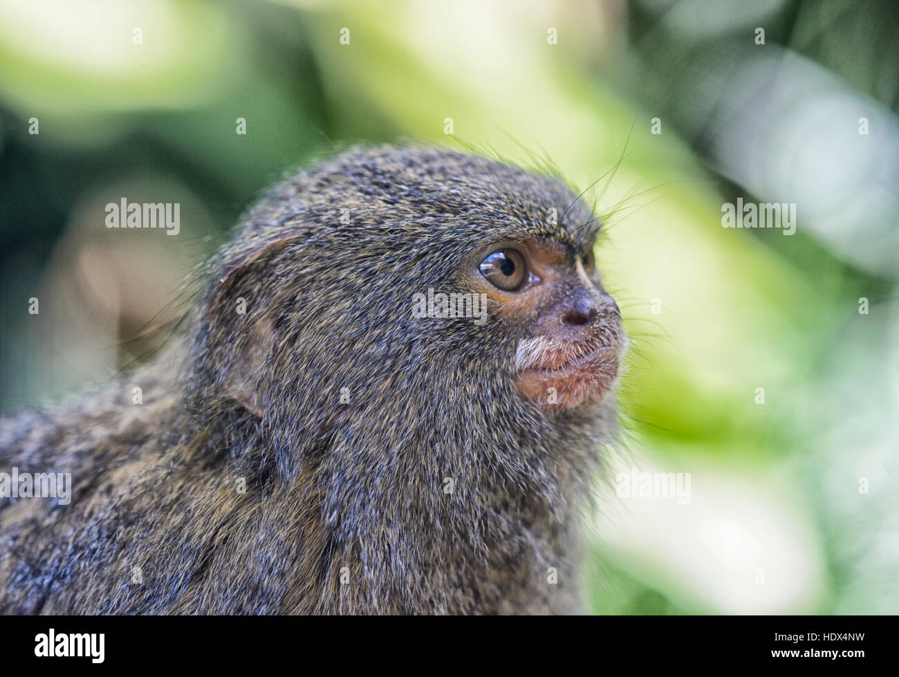 Pygmy Marmoset (Callythrix pygmaea) is native to South America. Its status is 'Vulnerable' - Stock Image