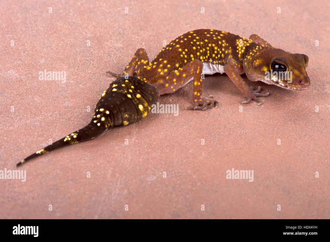 Western thick-tailed gecko, Underwoodisaurus milii - Stock Image