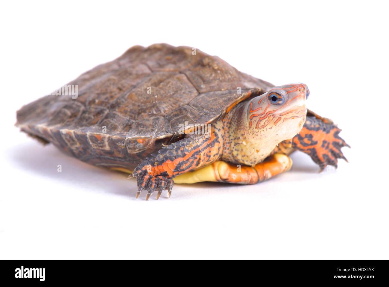 Ornate wood turtle, Rhinoclemmys pulcherrima manni - Stock Image