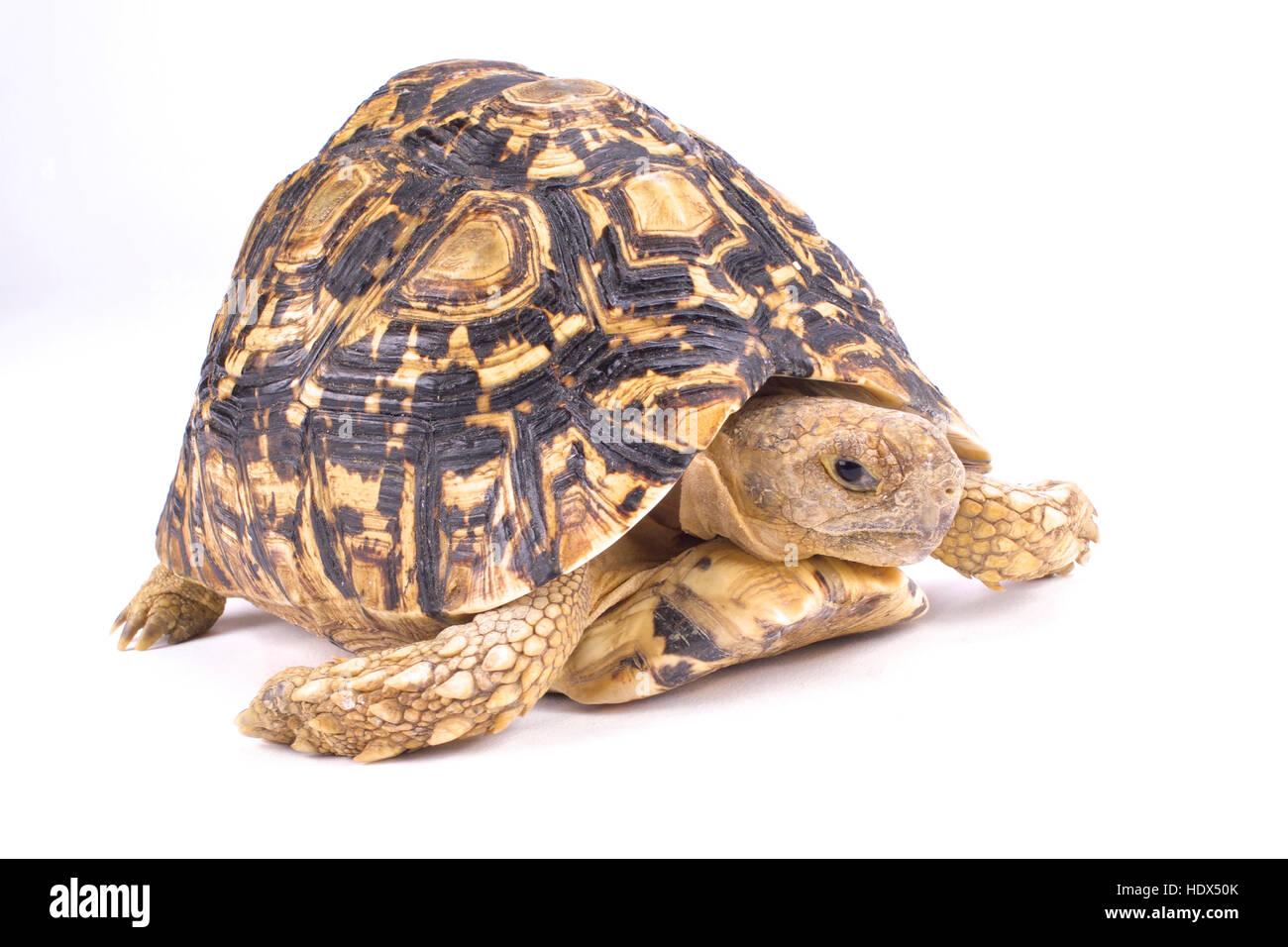 Leopard tortoise, Geochelone pardalis - Stock Image