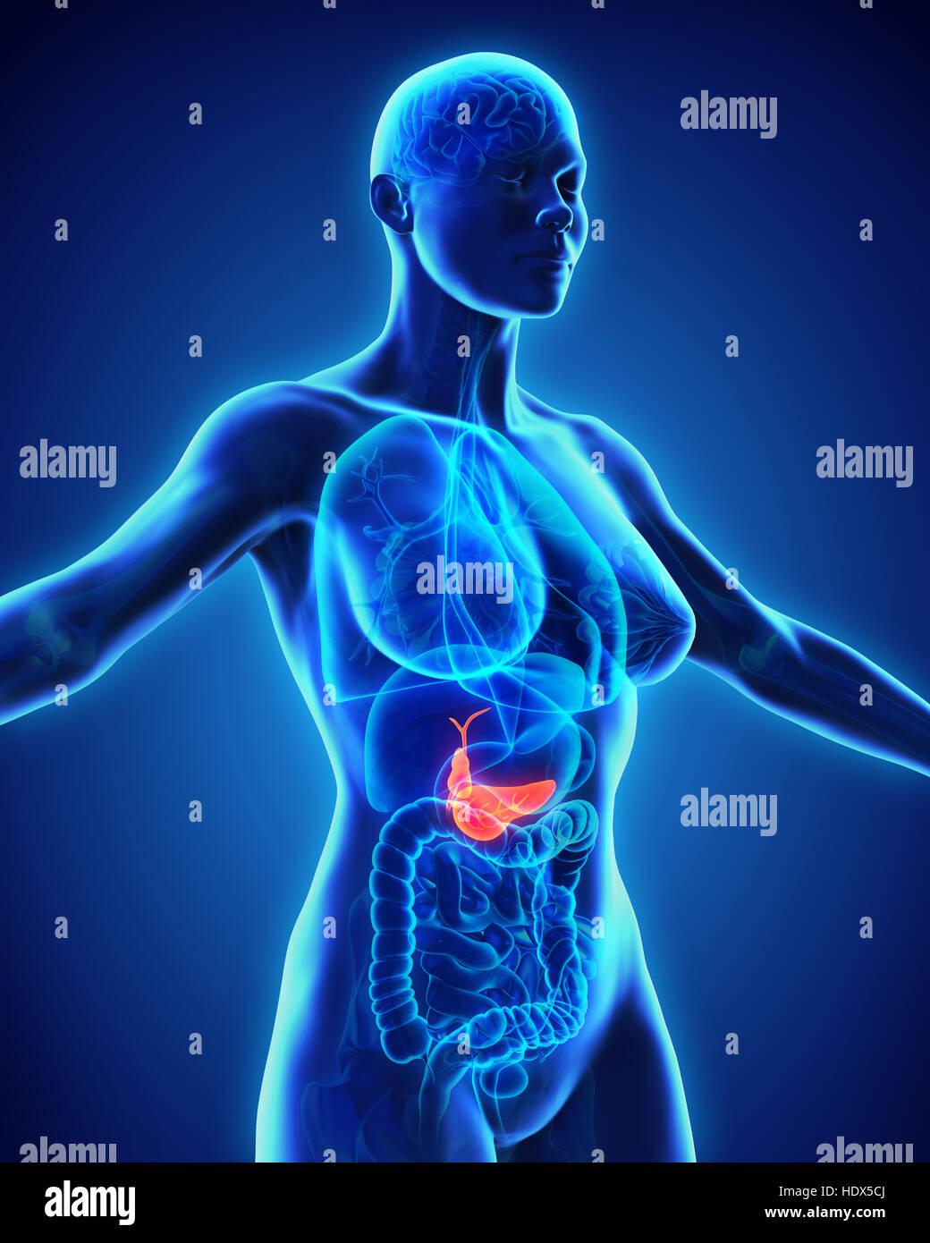 Human Gallbladder and Pancreas Anatomy Stock Photo: 129038130 - Alamy