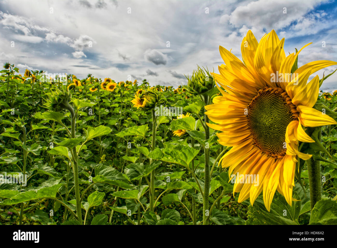 Impressive HDR photo of summer sunflower in the field right near Helsinki city center. - Stock Image