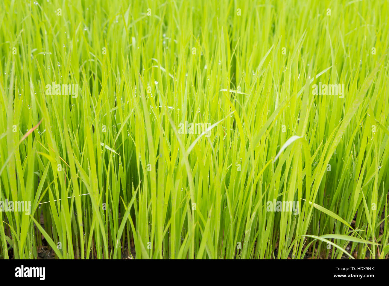 Rice seedling in the rice fields - Stock Image