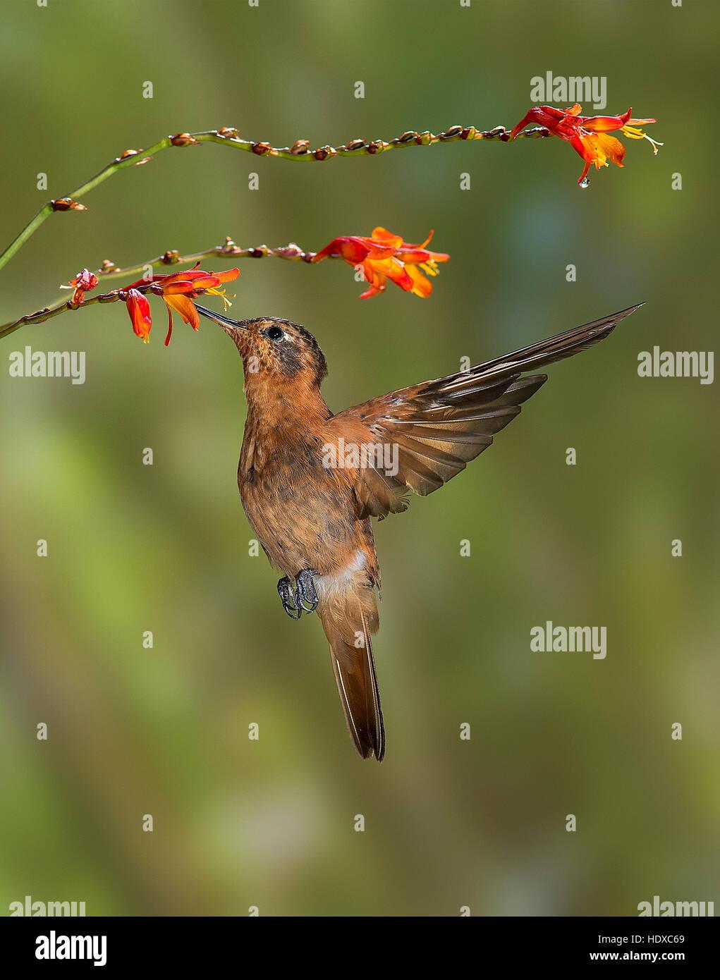Shining Sunbeam Hummingbird (Aglaeactis cupripennis) feeding on flowers - Stock Image