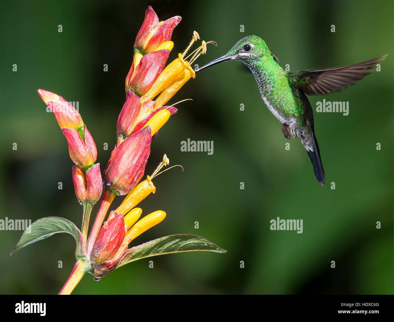 Green-crowned brilliant (Heliodoxa jacula) feeding - Stock Image
