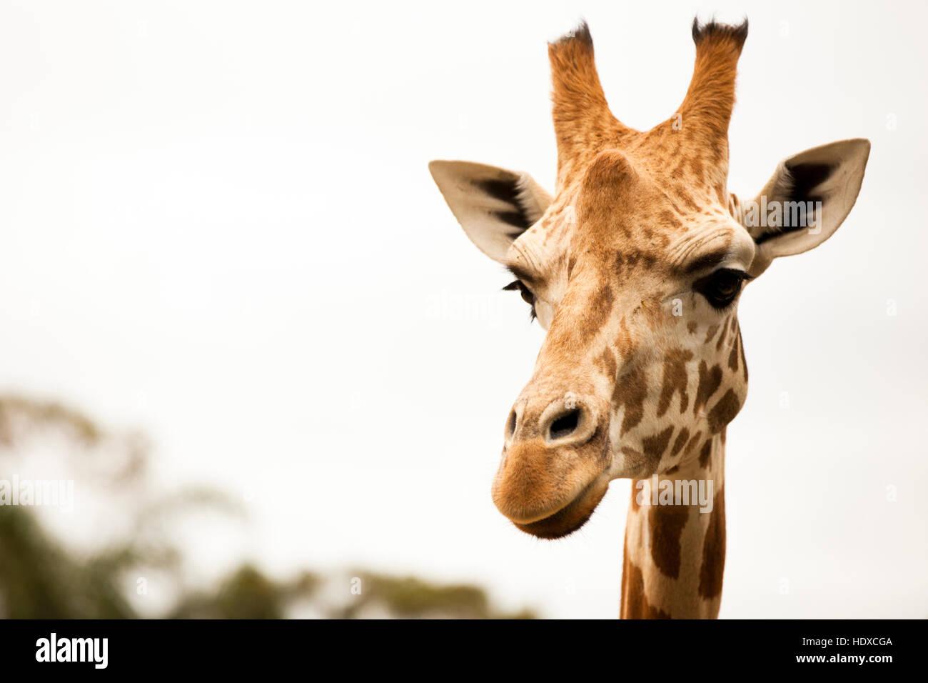 Closeup portrait of giraffe looking at camera - Stock Image
