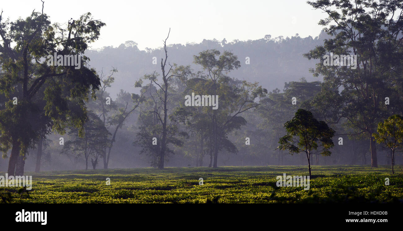 A misty morning over the tea plantations in central Assam. - Stock Image