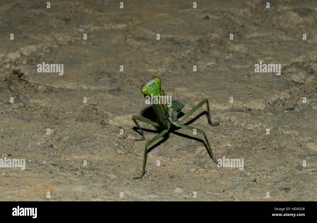 A big Praying Mantis - Stock Image