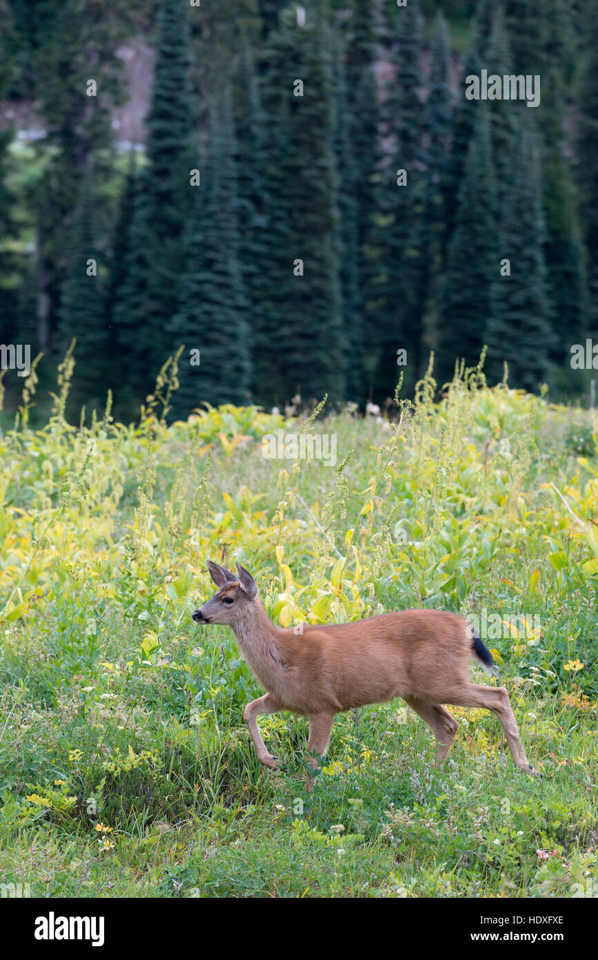 Mule deer in Mt. Rainier National Park, Washington. - Stock Image