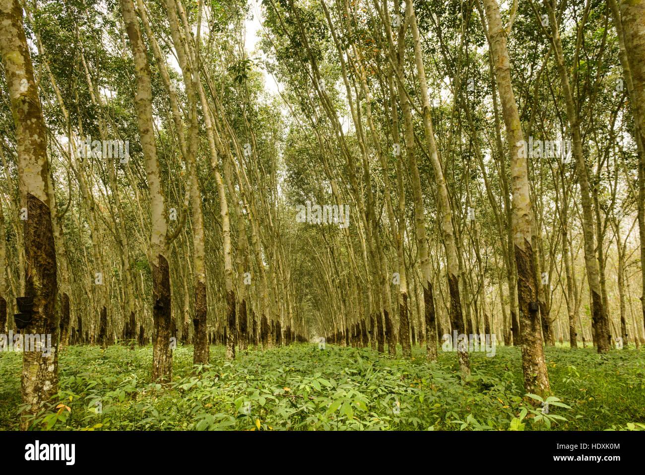 Rubber tree plantations, Ivory Coast - Stock Image