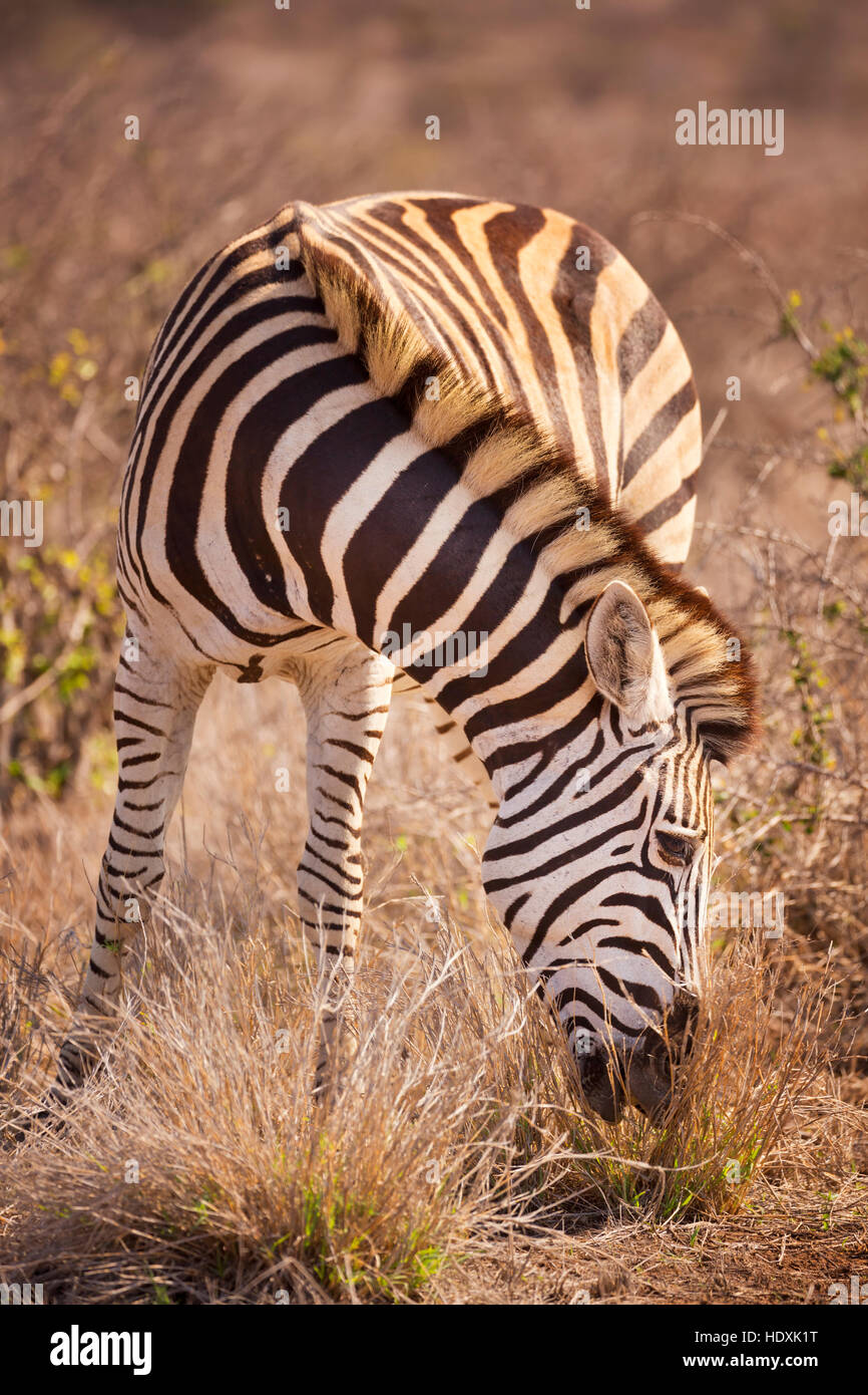 A grazing Burchell's zebra in Kruger National Park in South Africa. Stock Photo