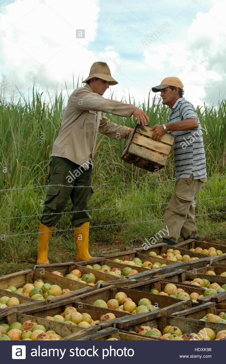 Guava fruit recollection: Farm workers with wooden boxes which are filled with harvested green guavas - Stock Image