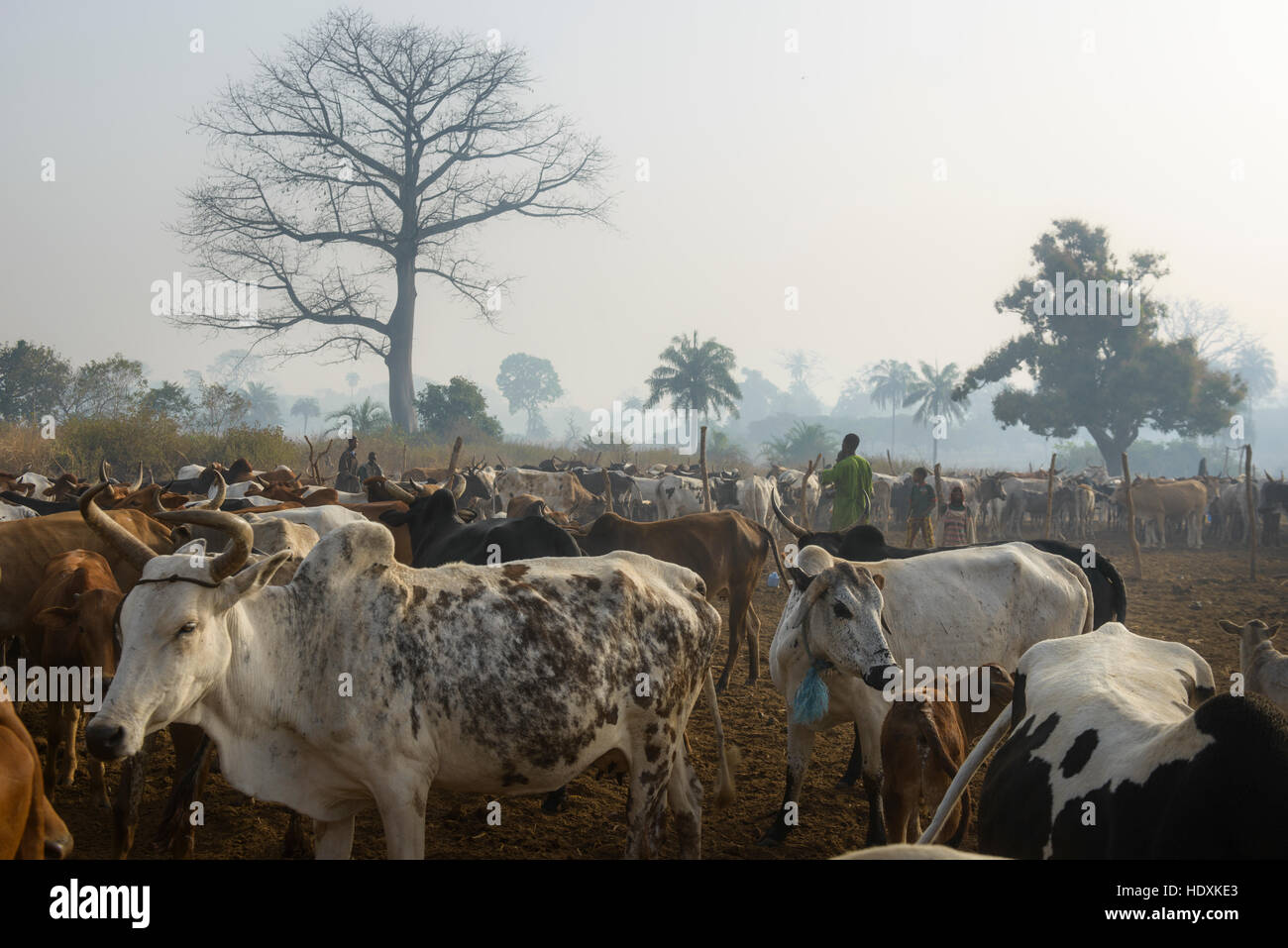 Cattle station in northern Cote D'Ivoire, (Ivory coast) - Stock Image