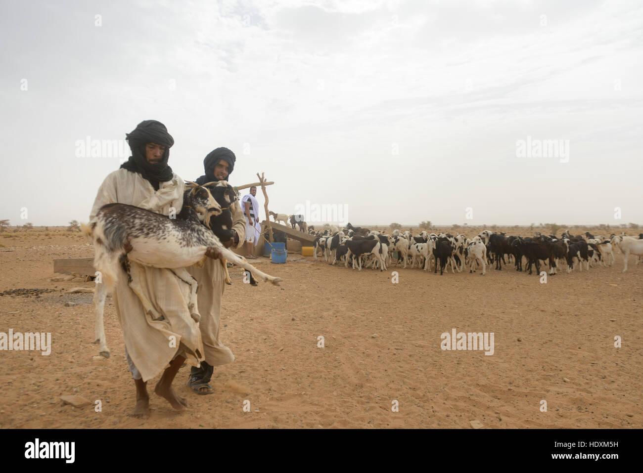 Goat herding nomads of the Adrar, Mauritania - Stock Image