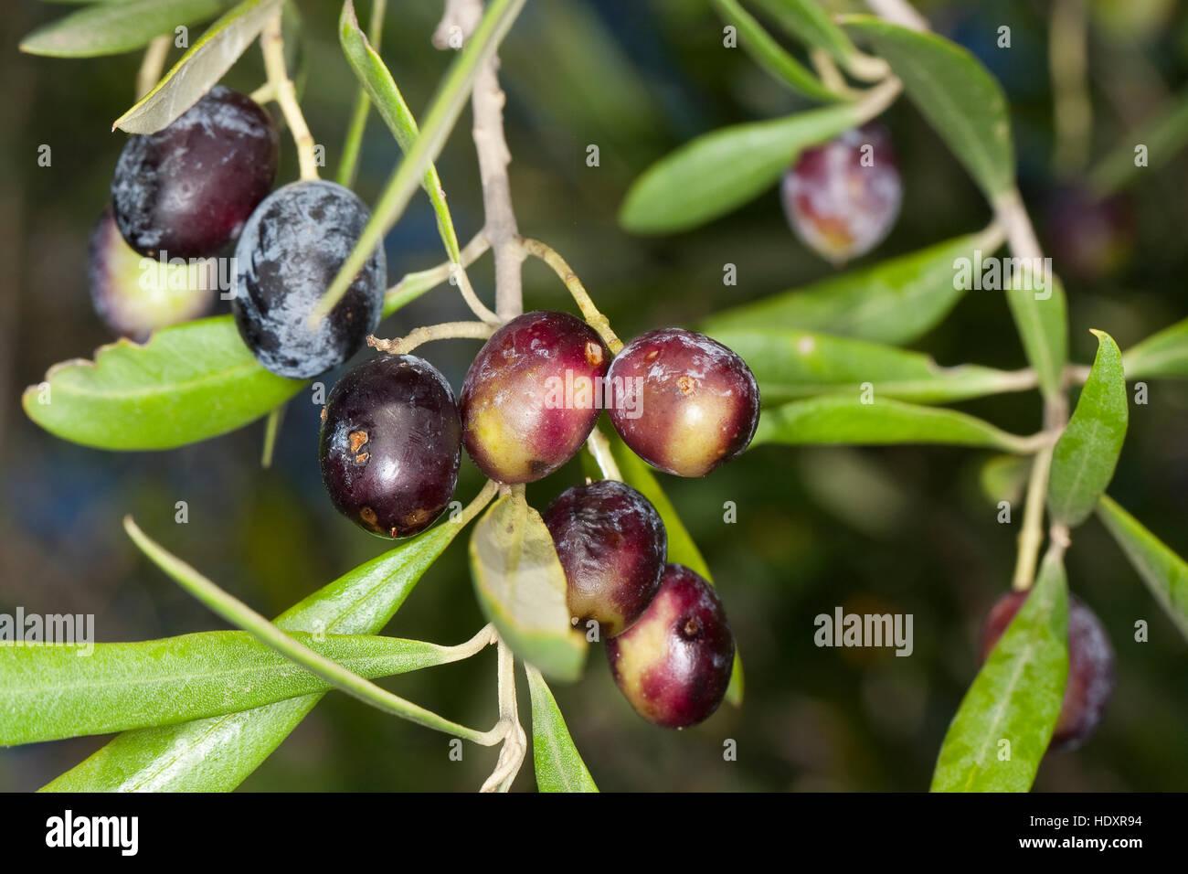Gemeinsame Echter Ölbaum Stock Photos & Echter Ölbaum Stock Images - Alamy #NA_52