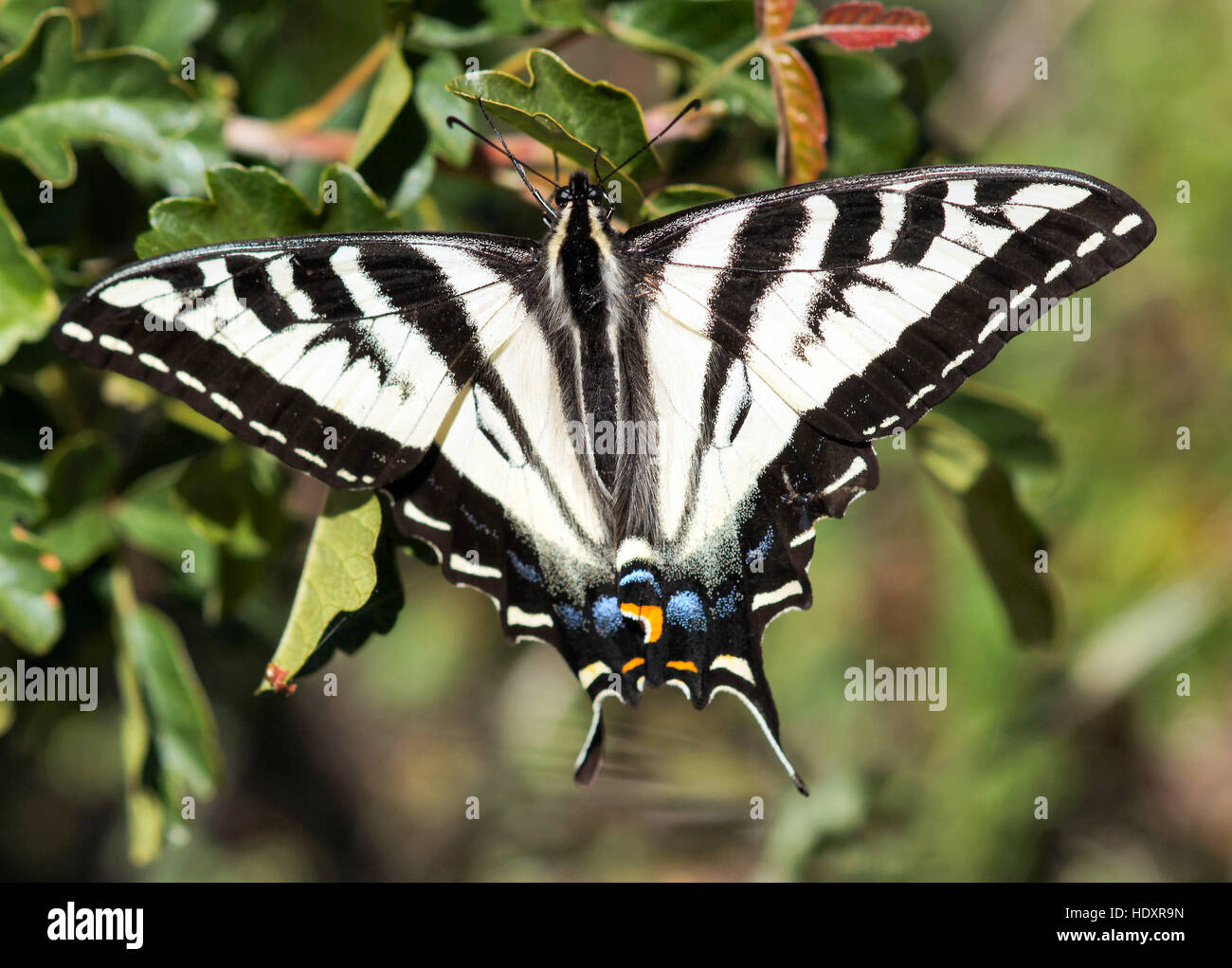 Pale Swallowtail (Papilio eurymedon) butterfly perched on tree Stock Photo