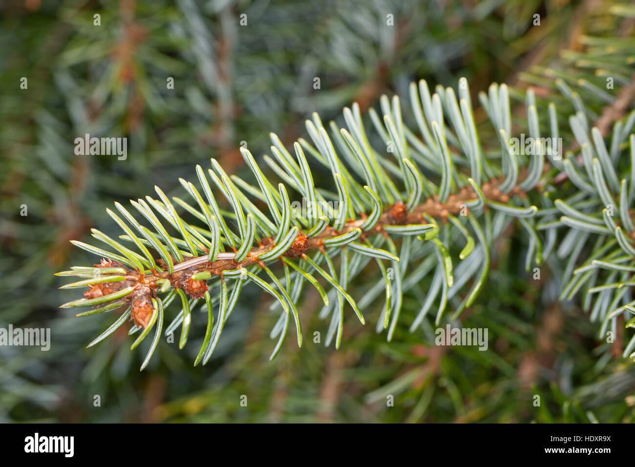 Omorika-Fichte, Serbische Fichte, Omorikafichte, Picea omorika, Serbian Spruce - Stock Image