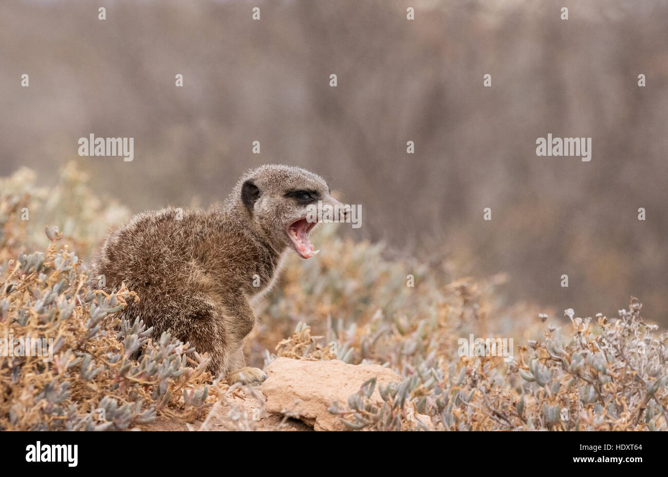 Meerkat ( Suricata suricatta ) snarling, Oudsthoorn, the Karoo, South africa - Stock Image