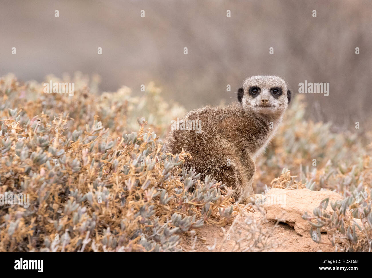 One meerkat ( Suricata suricatta ),  looking at the camera, Oudsthoorn, the Karoo, South Africa - Stock Image