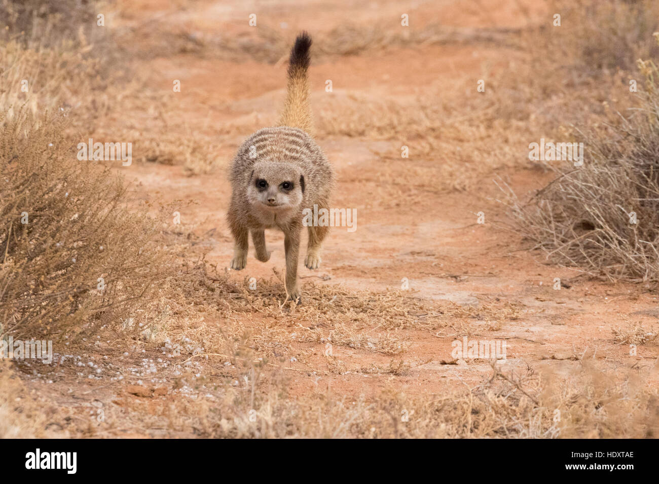 Wild adult Meerkat ( Suricata suricatta ) running, the Karoo, South Africa - Stock Image