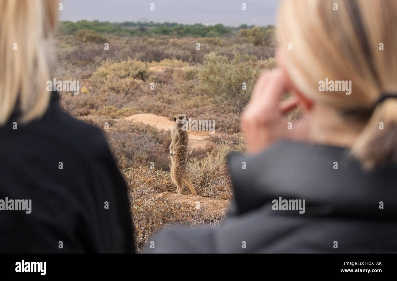 Tourists watching meerkats, Oudsthoorn, the Karoo, South Africa - Stock Image