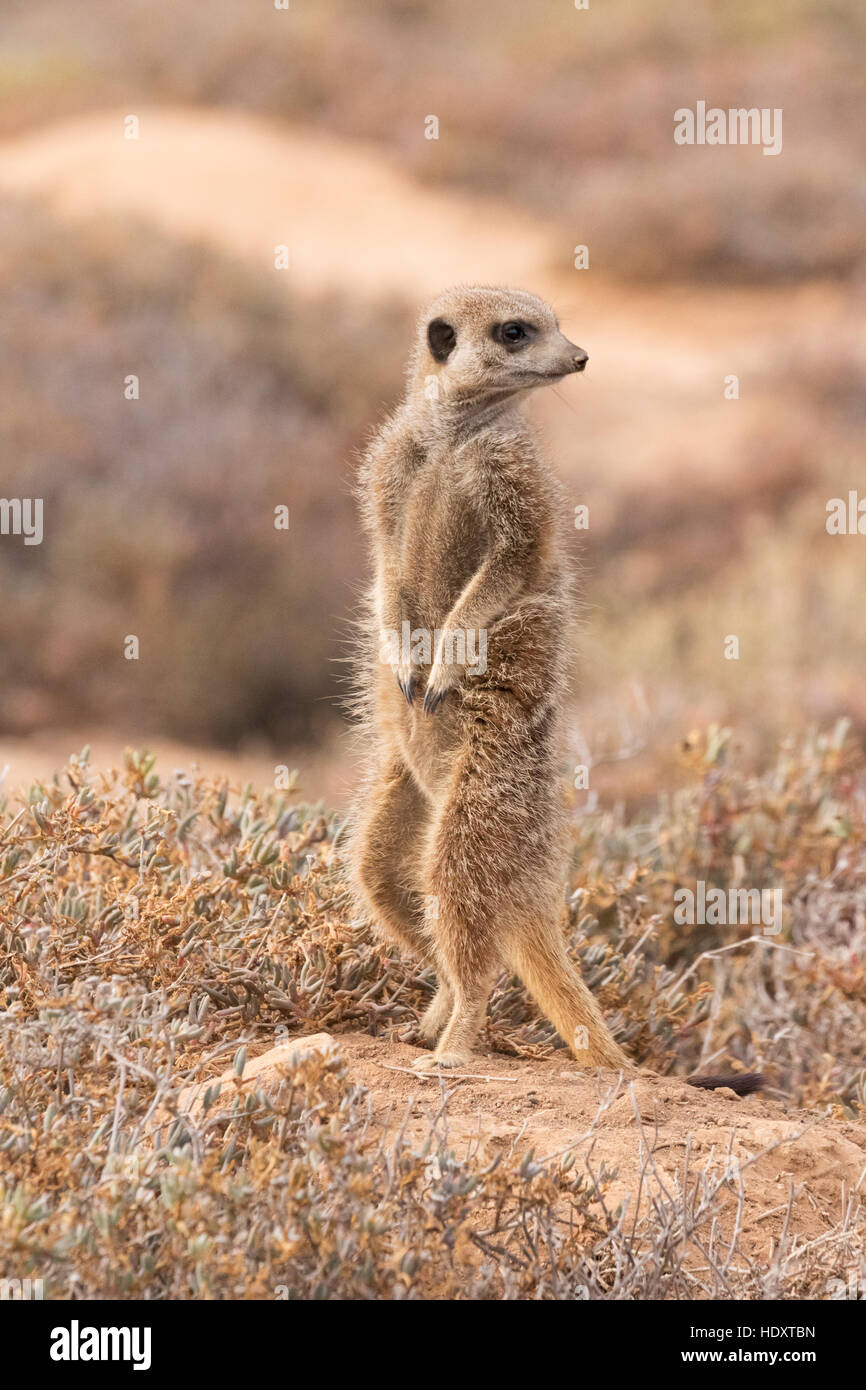 One wild meerkat ( Suricata suricatta ) looking out, Oudsthoorn, the Karoo, South Africa - Stock Image