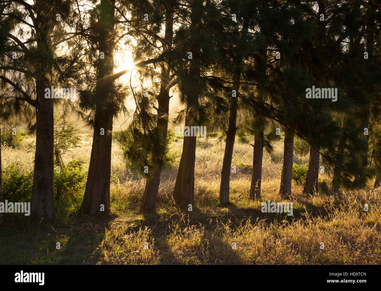 Morning sunlight shining through pine trees, South Africa - Stock Image