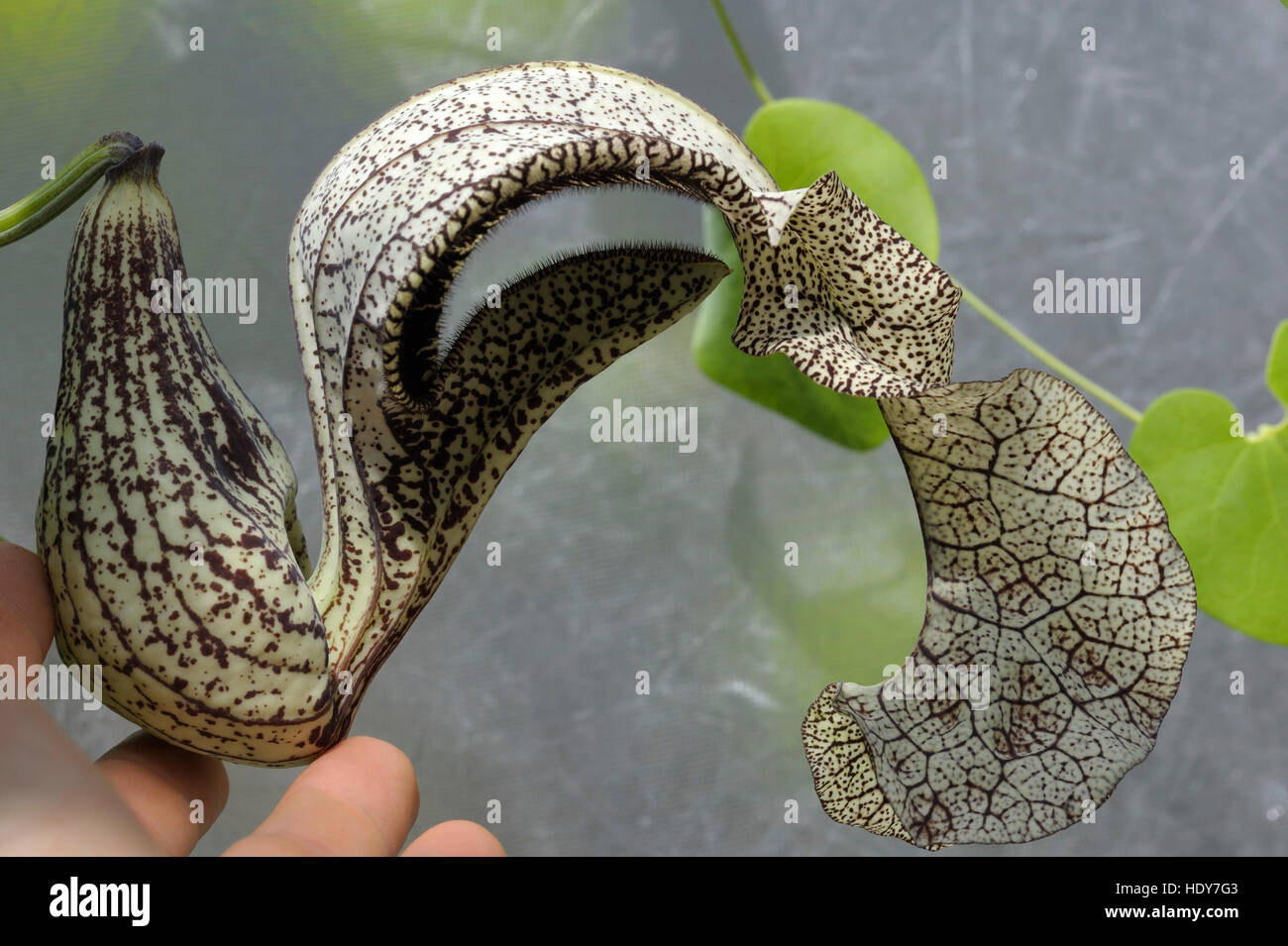 Tình yêu cây cỏ ĐV2 - Page 3 Aristolochia-cymbifera-from-minas-gerais-brazil-HDY7G3