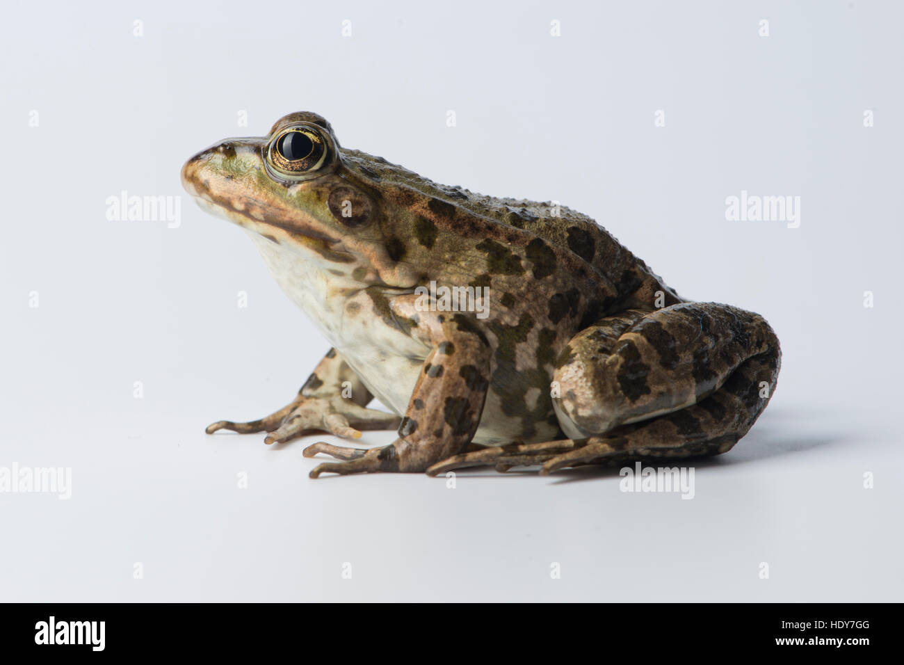 Frog on clear white background - Stock Image