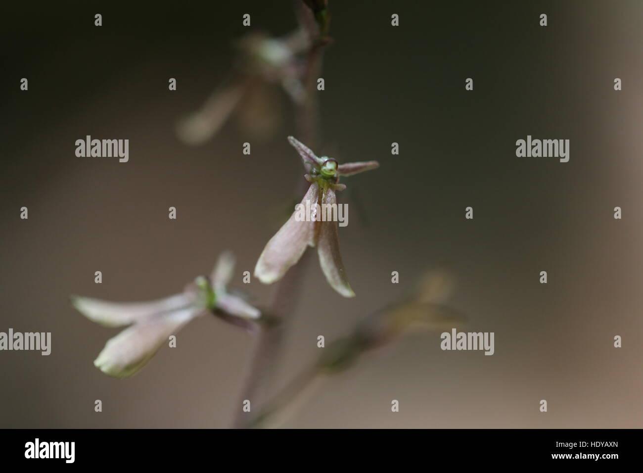 Small's twayblade orchid [Listera smallii].Pennsylvania,USA - Stock Image