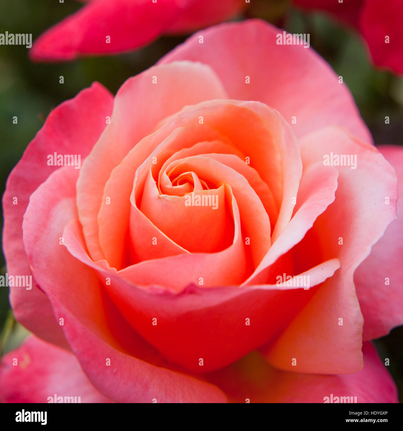 Big Fresh Pink Roses Beautiful Natural Flowers Stock Photo