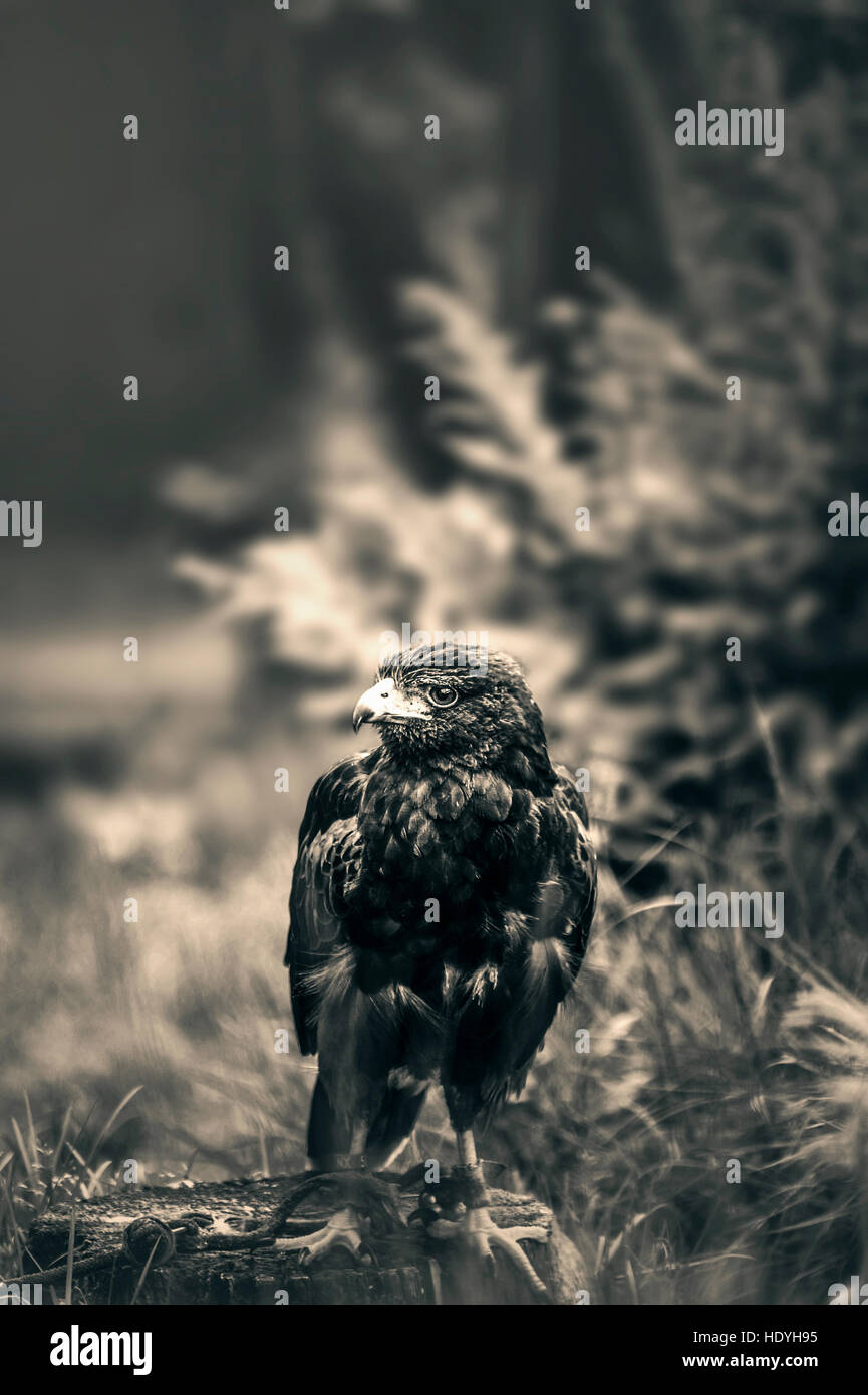 hawk,eagle,art,bird,nature,wild,wilderness,magical,artistic,natural history,portrait,peak,feathers - Stock Image