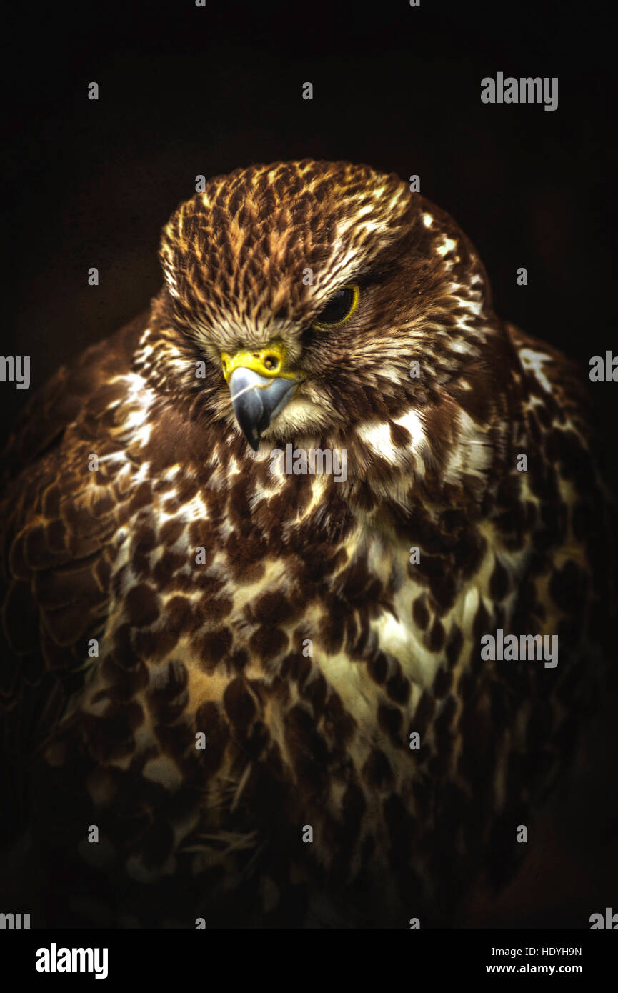 wild bird,hawk - Stock Image