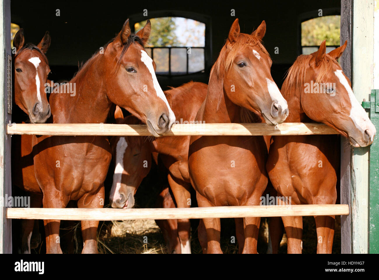 Purebred Anglo Arabian Chestnut Horses Standing At The Barn Door