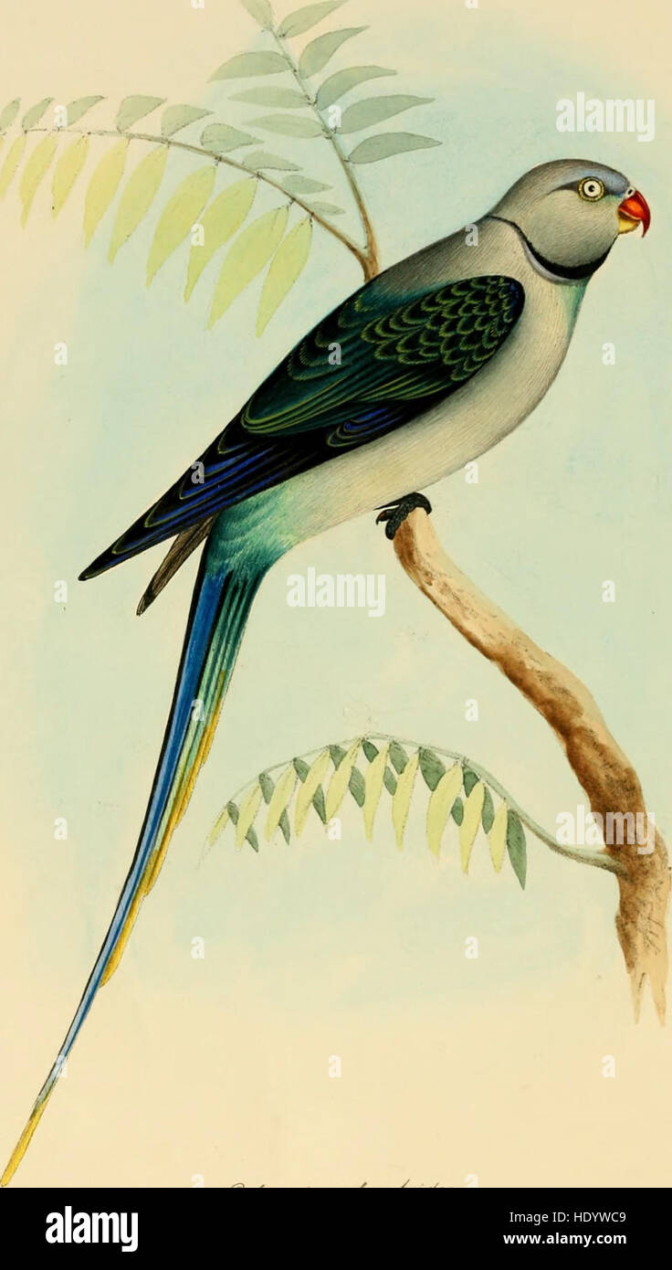 Illustrations of Indian ornithology - containing fifty figures of new, unfigured and interesting species of birds, chiefly from the south of India (1847) Stock Photo