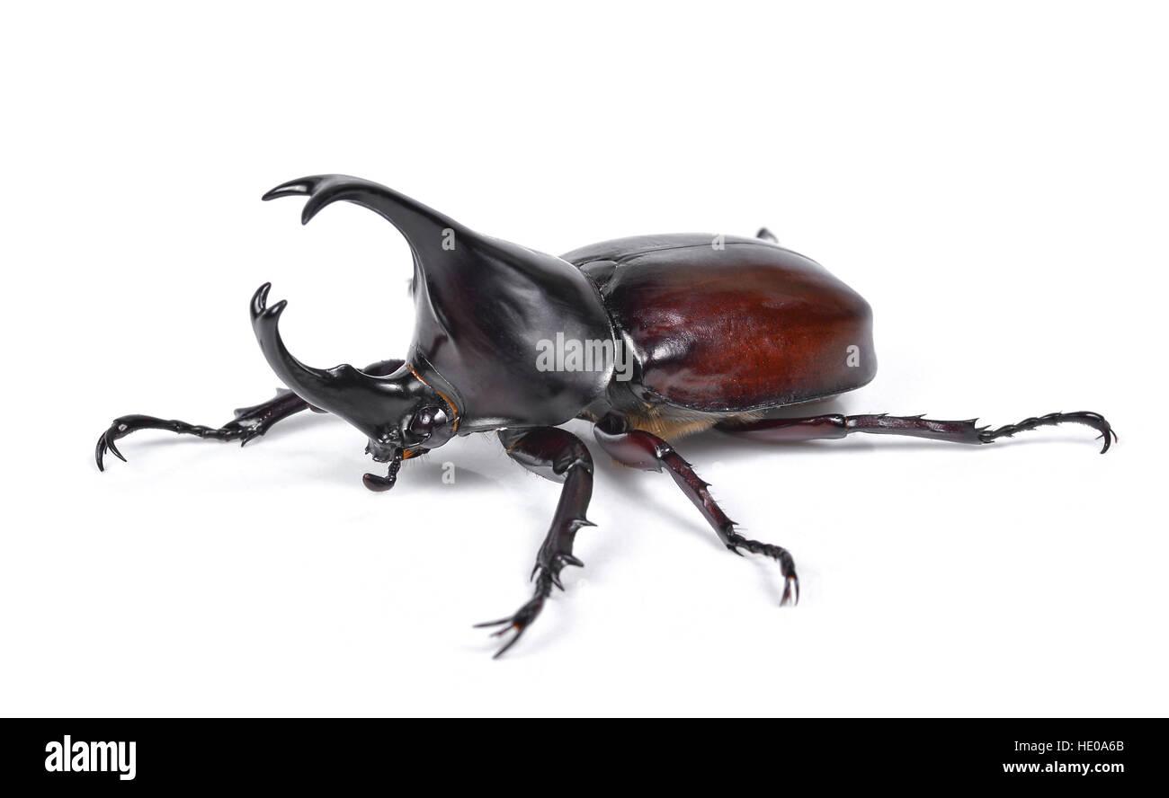 Male Rhinoceros beetle, Hercules beetle, Unicorn beetle, Horn beetle isolated on white - Stock Image