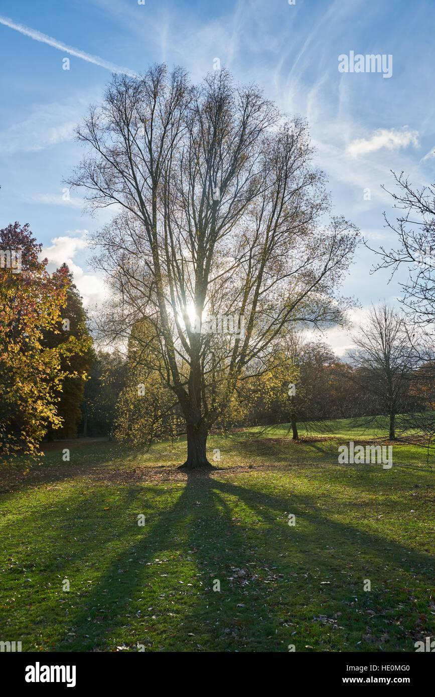 autumn tree,  sun shining through tree.  tree shadow. - Stock Image