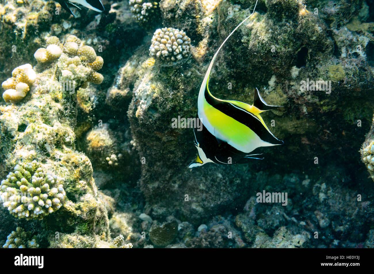 Moorish Idol swimming in coral reef - Stock Image