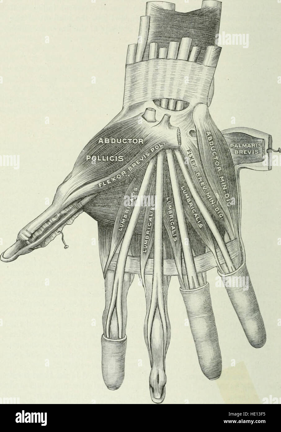 Applied Anatomy And Kinesiology The Mechanism Of Muscular Movement