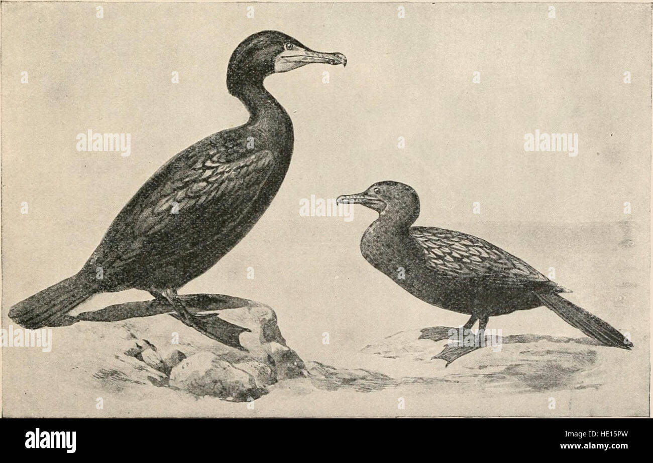 The birds of eastern North America - known to occur east of the ninetieth meridian (1899) Stock Photo