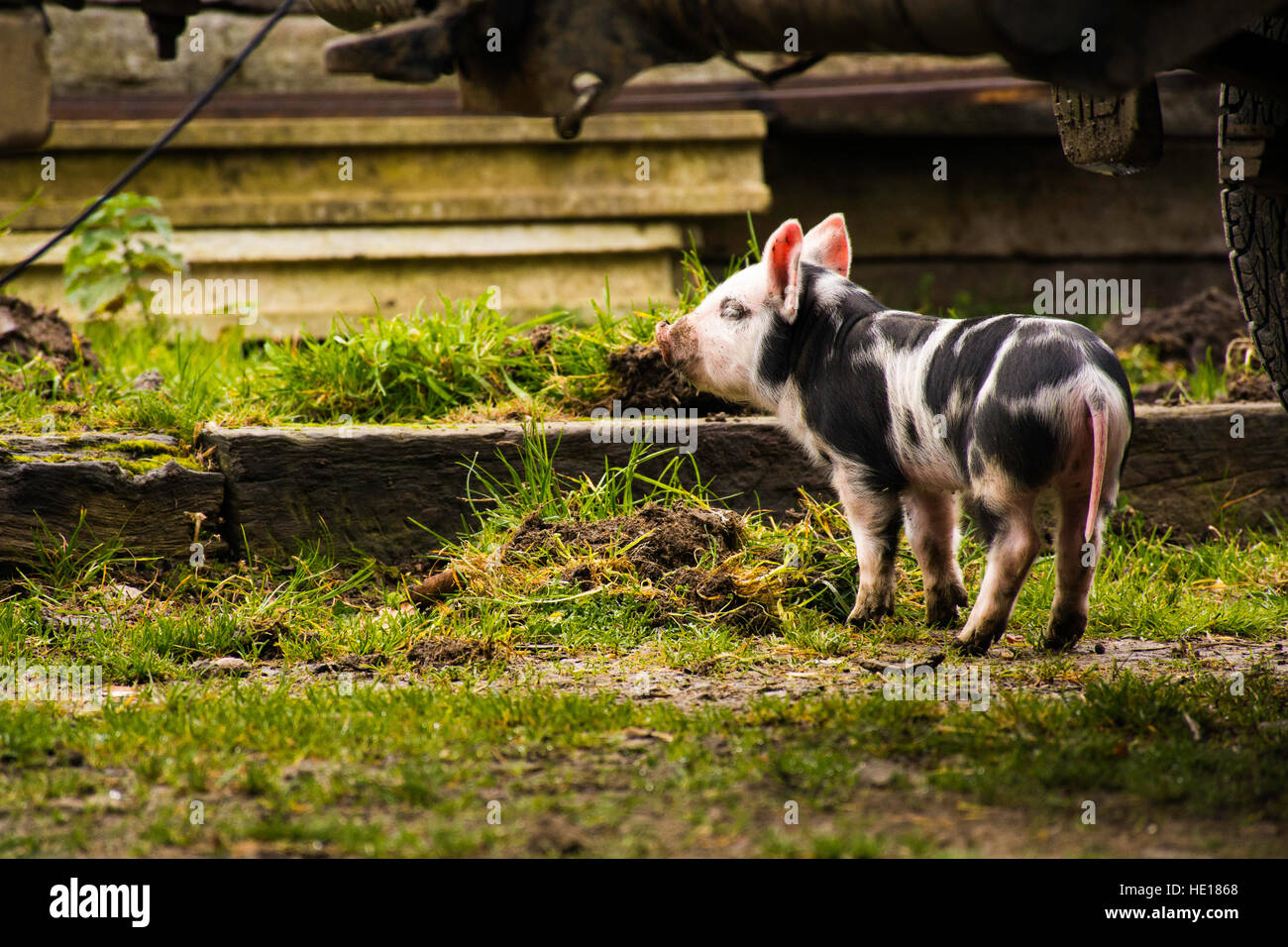 and this little piggy... Stock Photo