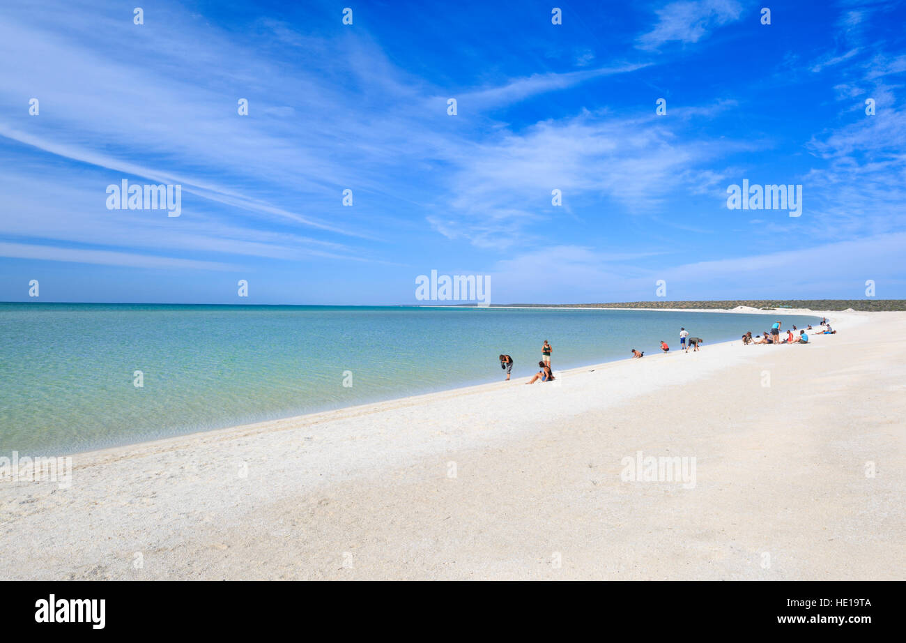 Shell Beach -formed from the billions of mollusc shells- in Shark Bay, Western Australia - Stock Image
