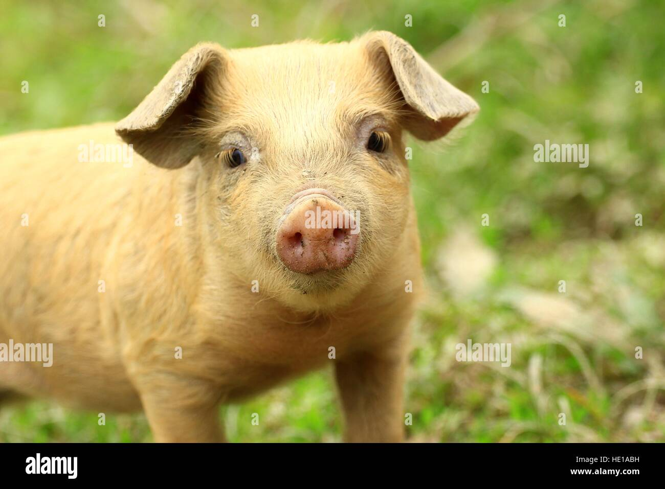 Cute piglet face - Stock Image
