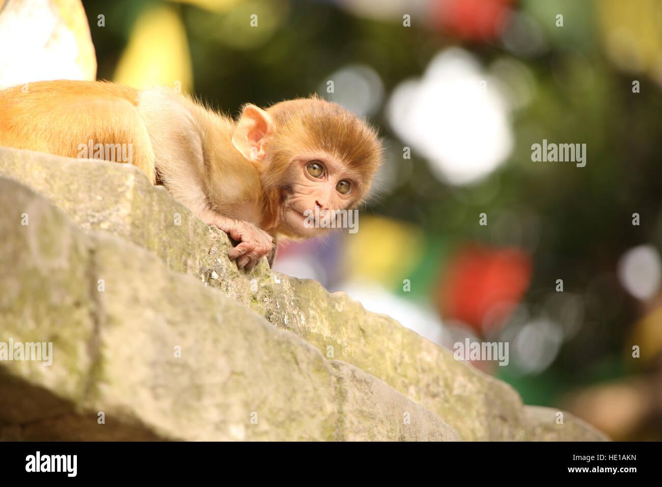 Monkey peeks over the edge at the Monkey temple, Swayambhu Nath temple, Kathmandu, Nepal. - Stock Image