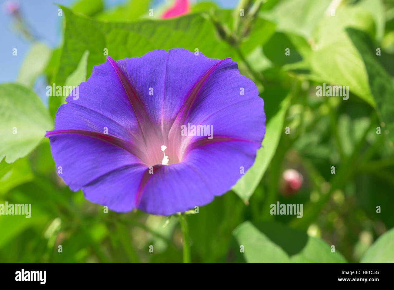 Grannyvine or morning glory (Ipomoea tricolor), Bavaria, Germany - Stock Image