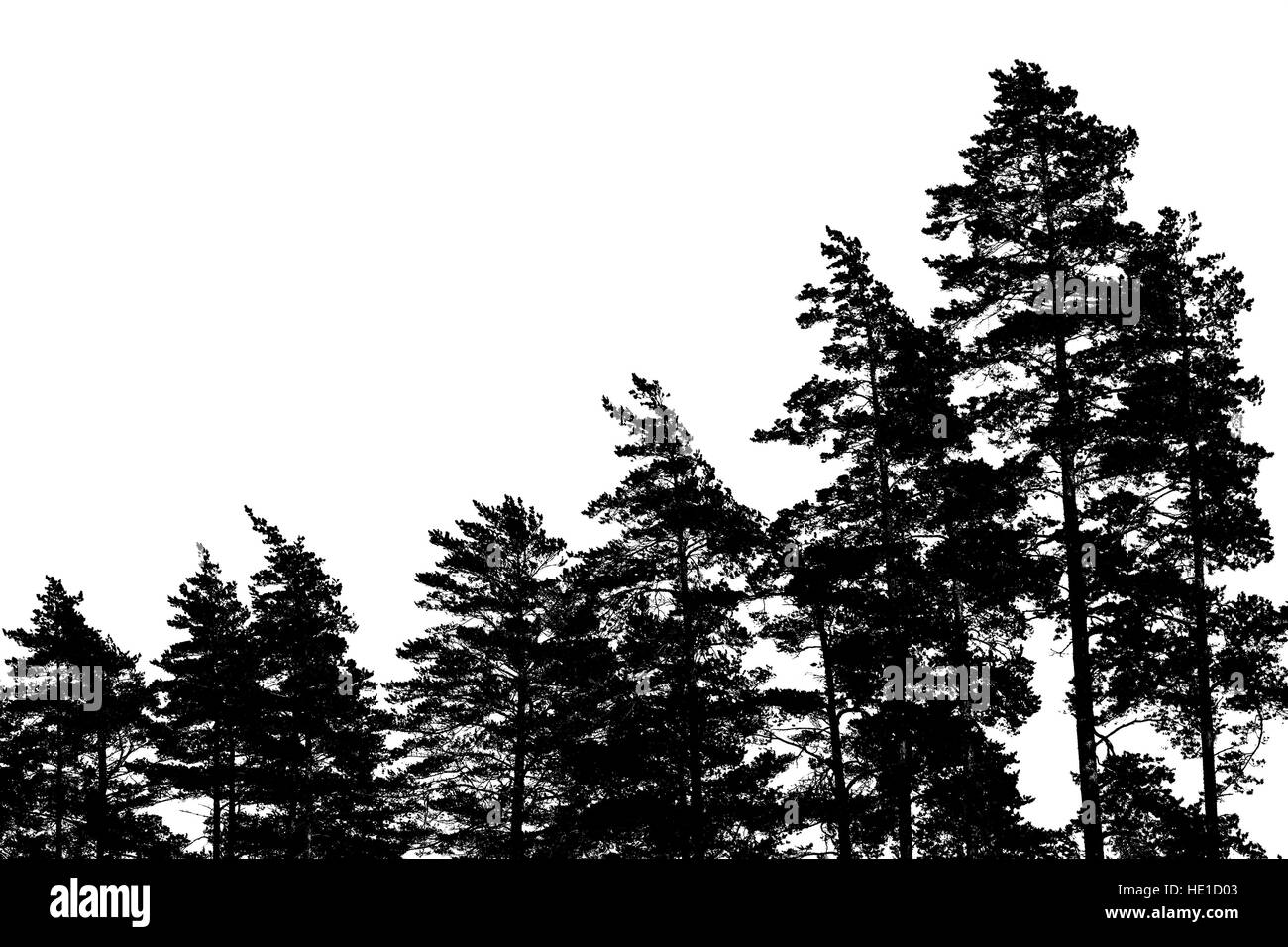 Black pine tree silhouettes isolated on white, forest background - Stock Image