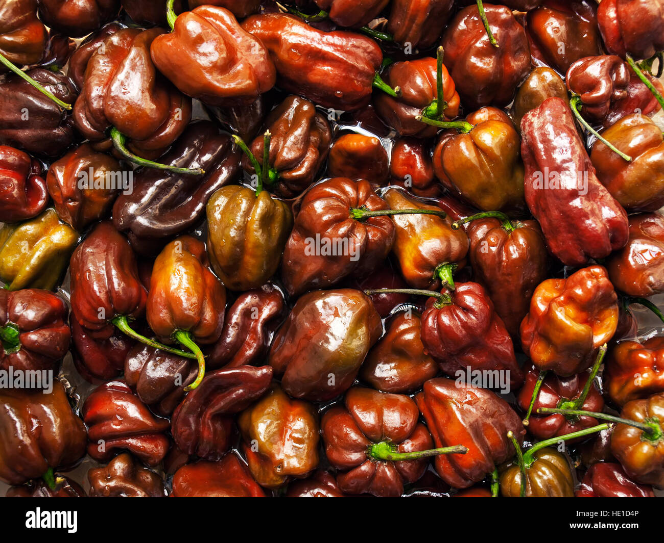 Lot of Habanero Chocolate peppers in the water. Stock Photo