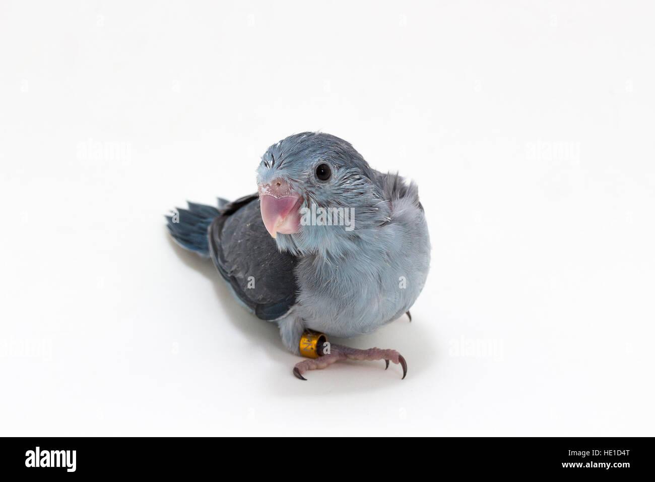 Mauve Forpus's Chick on White Background - Stock Image