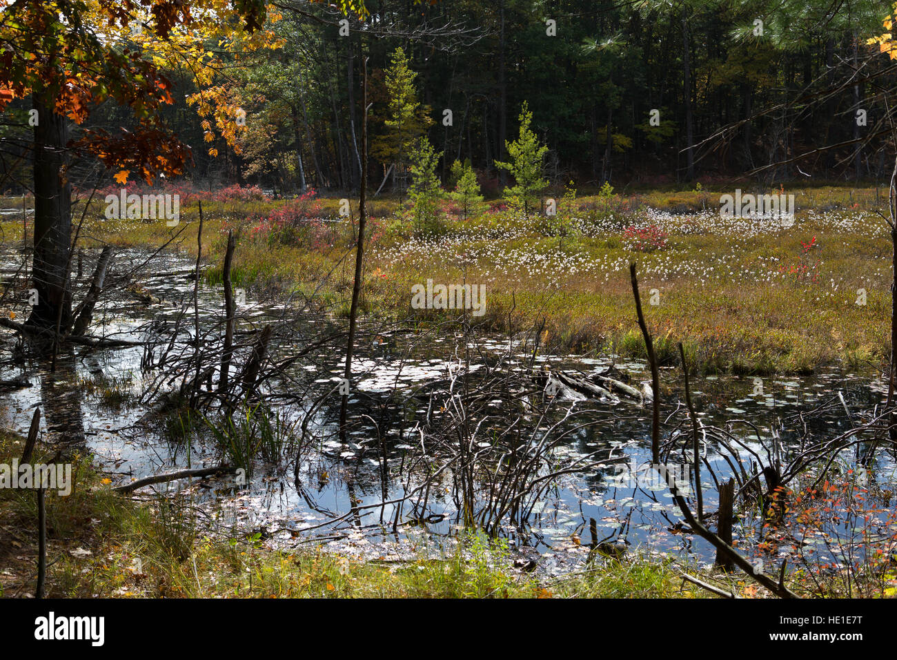 Forest Swamp next to the Walden Pond in Massachusetts in autumn - Stock Image
