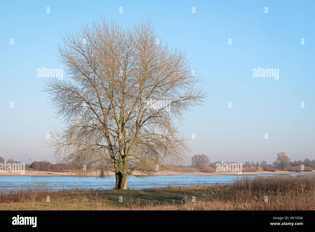 Single leafless tree on the banks of the Dutch river Waal in the evening sun - Stock Image